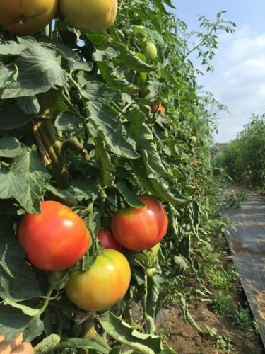 露地栽培大玉トマト