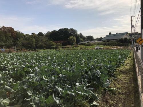 秋 ブロッコリー畑